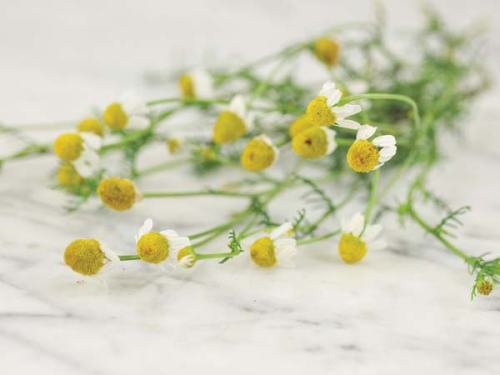 Herb-German-Chamomile-HB118-web-3